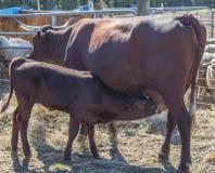 Αρμέγοντας αγελάδα και μόσχος του Devon Στοκ Φωτογραφία