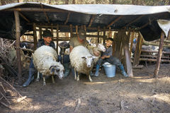 Αρμέγοντας τα πρόβατα ο παλαιός τρόπος Στοκ Εικόνες