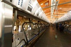 Αρμέγοντας δυνατότητα αγελάδων και μηχανοποιημένος αρμέγοντας εξοπλισμός Στοκ φωτογραφίες με δικαίωμα ελεύθερης χρήσης