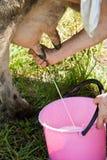 Αρμέξτε την αγελάδα στοκ εικόνα με δικαίωμα ελεύθερης χρήσης