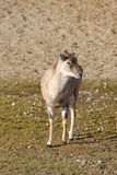 Αρμενικό mouflon Στοκ εικόνα με δικαίωμα ελεύθερης χρήσης