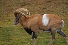 Αρμενικό Mouflon Στοκ φωτογραφίες με δικαίωμα ελεύθερης χρήσης