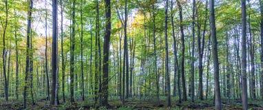 Αρμονικό πρότυπο των δρύινων δέντρων Στοκ εικόνα με δικαίωμα ελεύθερης χρήσης