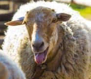 Αρνί Αρνί ζώων αγροκτημάτων Το ζωικό αγροτικό αρνί Άσπρο αρνί lookin στοκ εικόνες