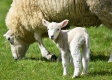 Αρνί με τα πρόβατα μητέρων στην άνοιξη στοκ εικόνες