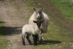 Αρνί με την προβατίνα Στοκ Εικόνες