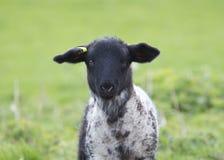 Αρνί με το μαύρο πρόσωπο την άνοιξη, UK στοκ φωτογραφία