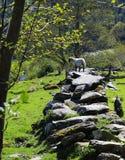 Αρνί, τολμηρό, στον τοίχο πετρών στον ήλιο στοκ εικόνες με δικαίωμα ελεύθερης χρήσης