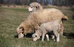 αρνί sheeps Στοκ Φωτογραφίες