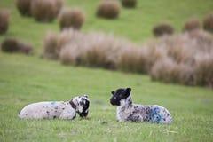 Αρνιά μωρών σε έναν τομέα χλόης στο βόρειο Γιορκσάιρ, Αγγλία στοκ φωτογραφίες