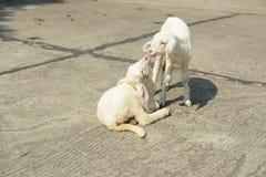 Αρνιά, sheeps στοκ εικόνα με δικαίωμα ελεύθερης χρήσης