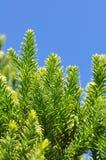 Αροκάρια στενός-με φύλλα Στοκ Εικόνες