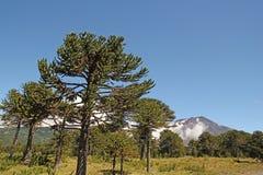 Αροκάρια, σύμβολο της Χιλής Στοκ εικόνες με δικαίωμα ελεύθερης χρήσης