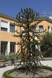 Αροκάρια Χιλιανός - araucana Molina Κ αροκαριών Koch, βοτανικός κήπος, Πάδοβα Στοκ φωτογραφία με δικαίωμα ελεύθερης χρήσης