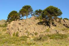 αροκάρια araucana Στοκ Εικόνες