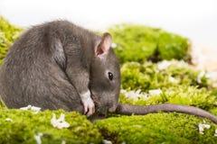 αρουραίος κατοικίδιων ζώων Στοκ Φωτογραφίες
