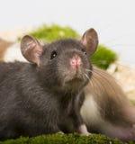 αρουραίος κατοικίδιων ζώων Στοκ φωτογραφία με δικαίωμα ελεύθερης χρήσης