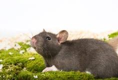 αρουραίος κατοικίδιων ζώων Στοκ εικόνες με δικαίωμα ελεύθερης χρήσης