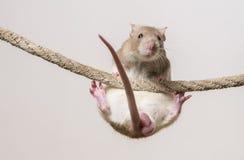 αρουραίος κατοικίδιων ζώων Στοκ Εικόνες