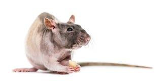Αρουραίος που τρώει το φυστίκι, που απομονώνεται στοκ εικόνα με δικαίωμα ελεύθερης χρήσης