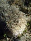 αρουραίος ψαριών Στοκ Φωτογραφίες