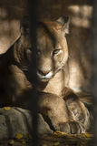 Αρπακτικό ζώο/πίσω από τους φραγμούς Στοκ Φωτογραφία
