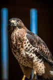 Αρπακτικό πτηνό γερακιών Στοκ Εικόνα