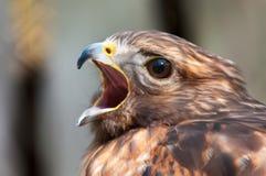 Αρπακτικό πτηνό γερακιών Στοκ φωτογραφία με δικαίωμα ελεύθερης χρήσης