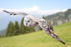 Αρπακτικό πτηνό κουκουβαγιών Στοκ εικόνα με δικαίωμα ελεύθερης χρήσης