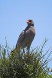 αρπακτικό πτηνό Στοκ Φωτογραφία