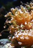 Αρπακτικό anemone θάλασσας σε ένα θαλάσσιο ενυδρείο σε Oceanarium Στοκ φωτογραφία με δικαίωμα ελεύθερης χρήσης