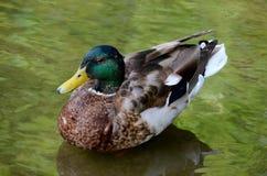 Αρσενικά αγριόχηνα παπιών πρασινολαιμών στο πράσινο νερό Στοκ εικόνα με δικαίωμα ελεύθερης χρήσης