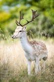 Αρσενικά ελάφια αγραναπαύσεων στο δάσος Στοκ φωτογραφία με δικαίωμα ελεύθερης χρήσης