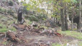 Αρσενικά ελάφια που παίζουν στο δάσος σε Parnitha στην Ελλάδα φιλμ μικρού μήκους