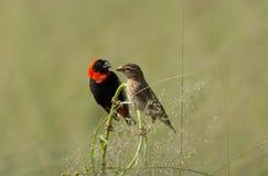 Αρσενικά και θηλυκά κόκκινα πουλιά επισκόπων στην πέρκα Στοκ Φωτογραφία