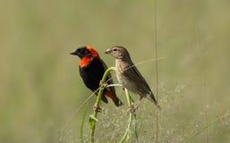 Αρσενικά και θηλυκά κόκκινα πουλιά επισκόπων στην πέρκα Στοκ εικόνα με δικαίωμα ελεύθερης χρήσης