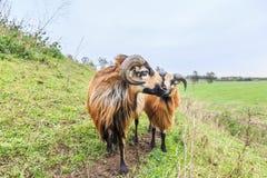 Αρσενικά και θηλυκά πρόβατα του Καμερούν στο τοπίο λιβαδιών Στοκ Εικόνες