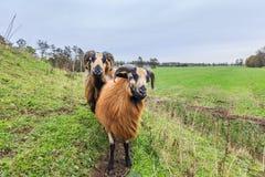 Αρσενικά και θηλυκά πρόβατα του Καμερούν στο τοπίο λιβαδιών Στοκ εικόνα με δικαίωμα ελεύθερης χρήσης