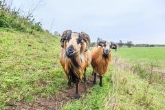 Αρσενικά και θηλυκά πρόβατα του Καμερούν στο τοπίο λιβαδιών Στοκ Φωτογραφία