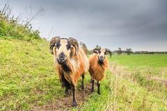 Αρσενικά και θηλυκά πρόβατα του Καμερούν στο τοπίο λιβαδιών Στοκ εικόνες με δικαίωμα ελεύθερης χρήσης