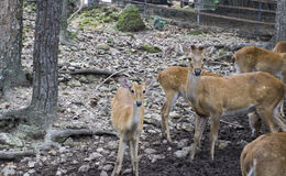 Αρσενικά και θηλυκά ελάφια στο ζωολογικό κήπο Στοκ Εικόνες