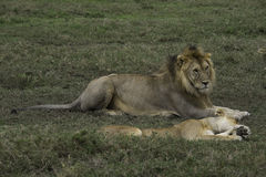 Αρσενικά και θηλυκά λιοντάρια σε Serengeti στοκ εικόνα