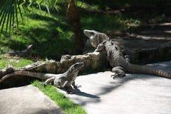 Αρσενικά και θηλυκά iguanas Στοκ Εικόνα