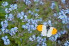 Αρσενικά πορτοκαλιά cardamines Anthocharis πεταλούδων ακρών Στοκ Εικόνα