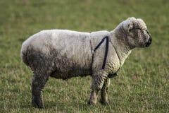 Αρσενικά πρόβατα που φορούν ένα λουρί αναπαραγωγής Στοκ εικόνα με δικαίωμα ελεύθερης χρήσης