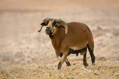 αρσενικά πρόβατα του Καμ&epsi Στοκ φωτογραφία με δικαίωμα ελεύθερης χρήσης