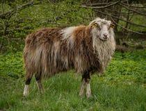 αρσενικά πρόβατα στοκ φωτογραφία