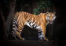 Αρσενικά τιγρών που στέκονται σε μια φυσική ατμόσφαιρα στοκ εικόνες