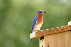 Αρσενικά φέρνοντας τρόφιμα Bluebird για να τοποθετηθεί το κιβώτιο Στοκ Εικόνα