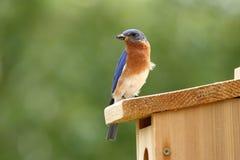 Αρσενικά φέρνοντας τρόφιμα Bluebird για να τοποθετηθεί το κιβώτιο Στοκ Εικόνες